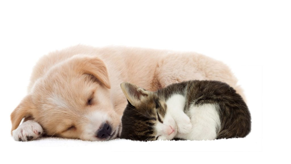 puppy and kitten cuddled up sleeping together